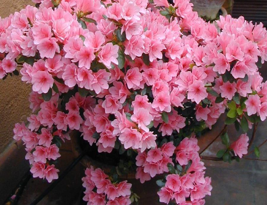 Азалия цветущий бонсай - 1