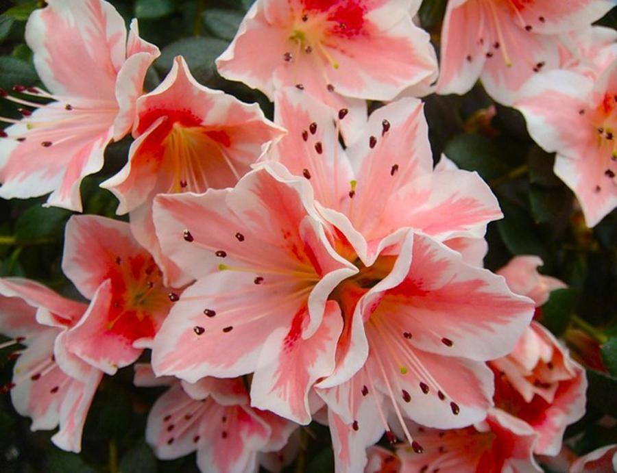 Азалия цветущий бонсай - 2